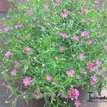 Gypsophila muralis 'Teeny Deep Rose' - Gipskruid
