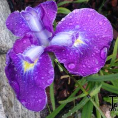 Iris ensata 'Cry of Rejoice' - Japanse iris - Iris ensata 'Cry of Rejoice'