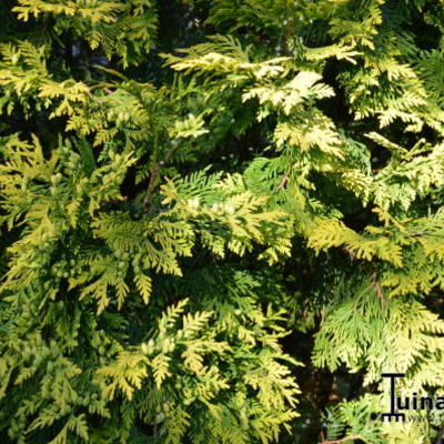 Chamaecyparis lawsoniana 'Ivonne'  - Gele Californische cypres)