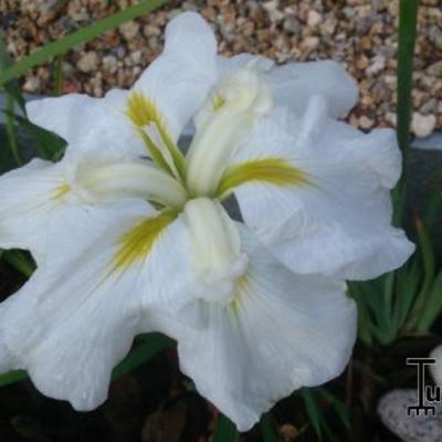 Iris ensata 'Gold Bound' -