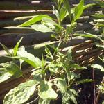 Cornus alba 'Gouchaultii' - Witte kornoelje - Cornus alba 'Gouchaultii'