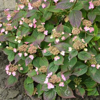 Hydrangea  serrata  'Spreading Beauty'