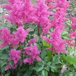 Pluimspirea - Astilbe japonica 'Bonn'