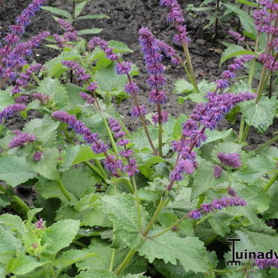 Salvia verticillata 'Smouldering Torches' -