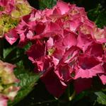 Hydrangea macrophylla 'Masja' - Hortensia, Bolhortensia - Hydrangea macrophylla 'Masja'