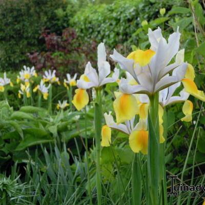Iris x hollandica 'Angel Wings' -