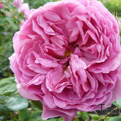 Rosa 'Princess Alexandra of Kent' -
