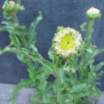 Leucanthemum x superbum 'Victorian Secret' - Margriet - Leucanthemum x superbum 'Victorian Secret'