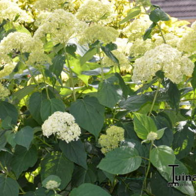 Hydrangea arborescens 'Sheep Cloud' -