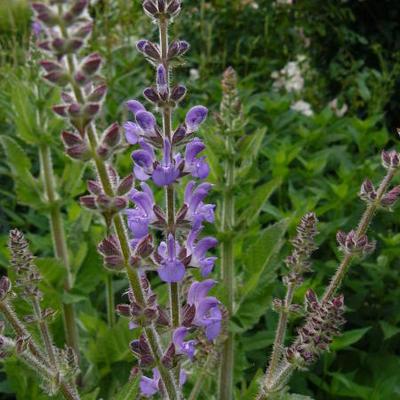 Salvia hians -