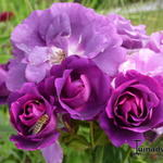 Rosa 'Rhapsody in Blue' - Roos