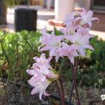 Amaryllis belladonna - Amaryllis belladonna - Belladonnalelie