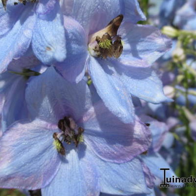 Delphinium 'MAGIC FOUNTAIN'  -