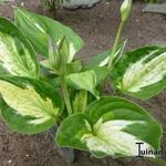Hosta 'Midnight at the Oasis' - Hartlelie/Funkia