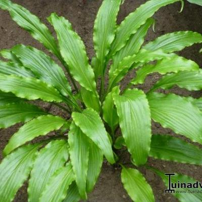 Hosta 'Ringtail' - Hartlelie/Funkia