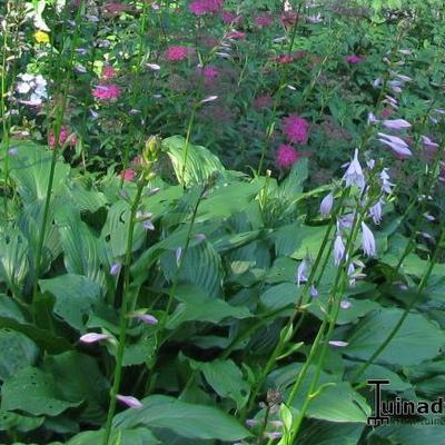 Hosta 'Fortunei Hyacinthina' - Hartlelie