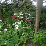 Hydrangea - Hydrangea - Hortensia
