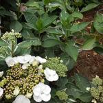 Hortensia - Hydrangea macrophylla 'Tricolor'