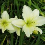 Hemerocallis 'Light the Way' - Daglelie, Eéndagsbloem