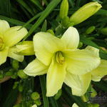 Hemerocallis 'Cream Drop' - Daglelie