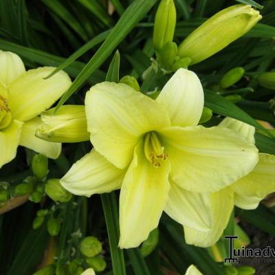 Hemerocallis 'Cream Drop' -