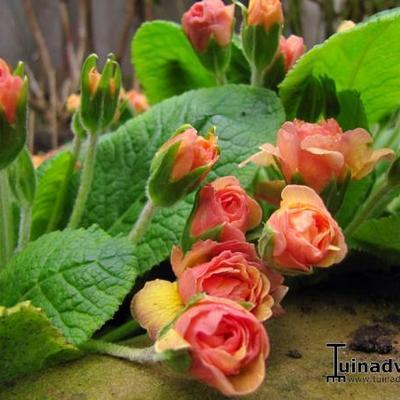 Primula vulgaris 'Ken Dearman' -