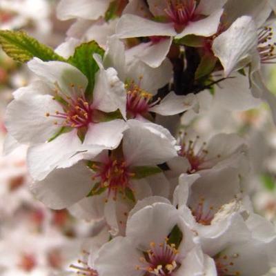 Prunus tomentosa -