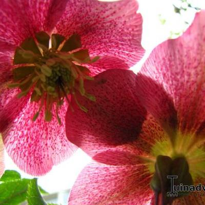 Helleborus orientalis 'Joy Hybrids' -
