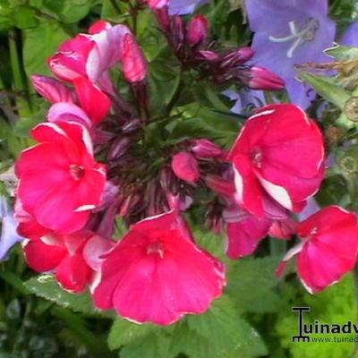 Phlox paniculata 'Red Riding Hood' -