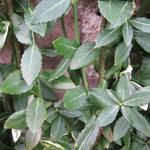 Euonymus fortunei var. radicans - Kardinaalsmuts - Euonymus fortunei var. radicans