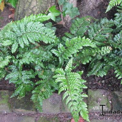 Polystichum polyblepharum 'Jade'  -