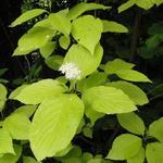 Cornus alba 'Aurea' - Witte kornoelje - Cornus alba 'Aurea'