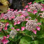 Teller hortensia , Rode Teller, lacecap hortensia - Hydrangea macrophylla 'Kardinal'