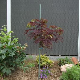 Albizia julibrissin 'Summer Chocolate'