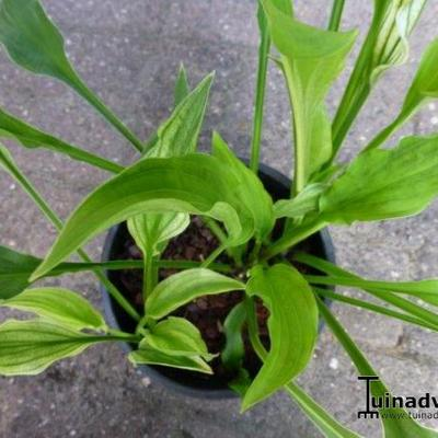 Hosta 'Outhouse Delight'  - Hartlelie/Funkia