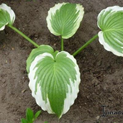 Hosta 'Bridal Falls' - Hartlelie/Funkia