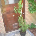 Cryptomeria japonica 'Rasen' - Japanse ceder - Cryptomeria japonica 'Rasen'