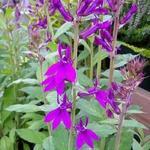 Prachtlobelia - Lobelia x speciosa 'Hadspen Purple'