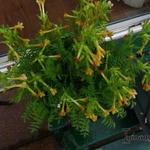 Polemonium pauciflorum - Polemonium pauciflorum - Jacobsladder