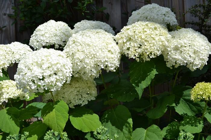 hortensia hydrangea arborescens 39 annabelle 39 planten online kopen. Black Bedroom Furniture Sets. Home Design Ideas