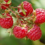 Rubus idaeus 'Autumn Bliss' - Herfstframboos - Rubus idaeus 'Autumn Bliss'