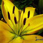 Lilium 'Yellow County' - Lelie
