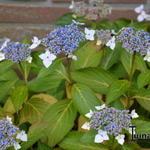Hydrangea  macrophylla  'Mariesii Lilacina' - Hydrangea  macrophylla  'Mariesii Lilacina' - Hortensia