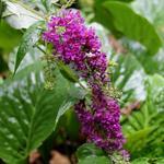 Buddleja davidii 'Nanho Purple' - Vlinderstruik - Buddleja davidii 'Nanho Purple'