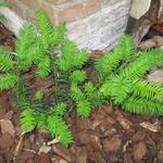 Cephalotaxus harringtonia 'Fastigiata' - Cephalotaxus harringtonia 'Fastigiata' - Knoptaxus