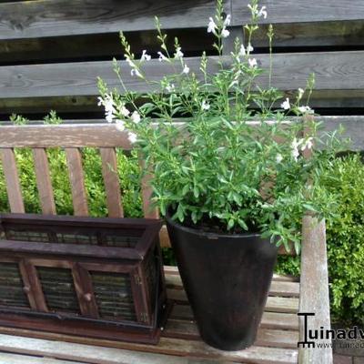 Salvia greggii 'Ice Cold' -