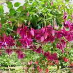 Fuchsia 'Fasna 1100' - Fuchsia 'Fasna 1100' - Bellenplant