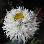 Leucanthemum 'Aglaia' - Leucanthemum 'Aglaia' - Margriet