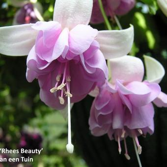 Fuchsia 'Rhees Beauty'