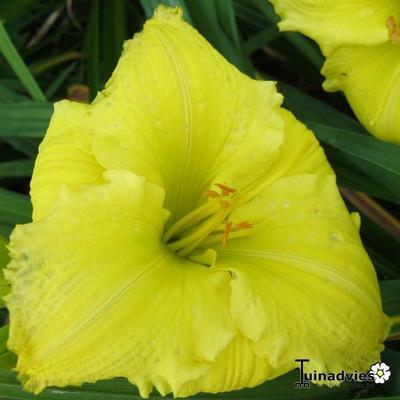 Hemerocallis 'Beauty To Behold' -